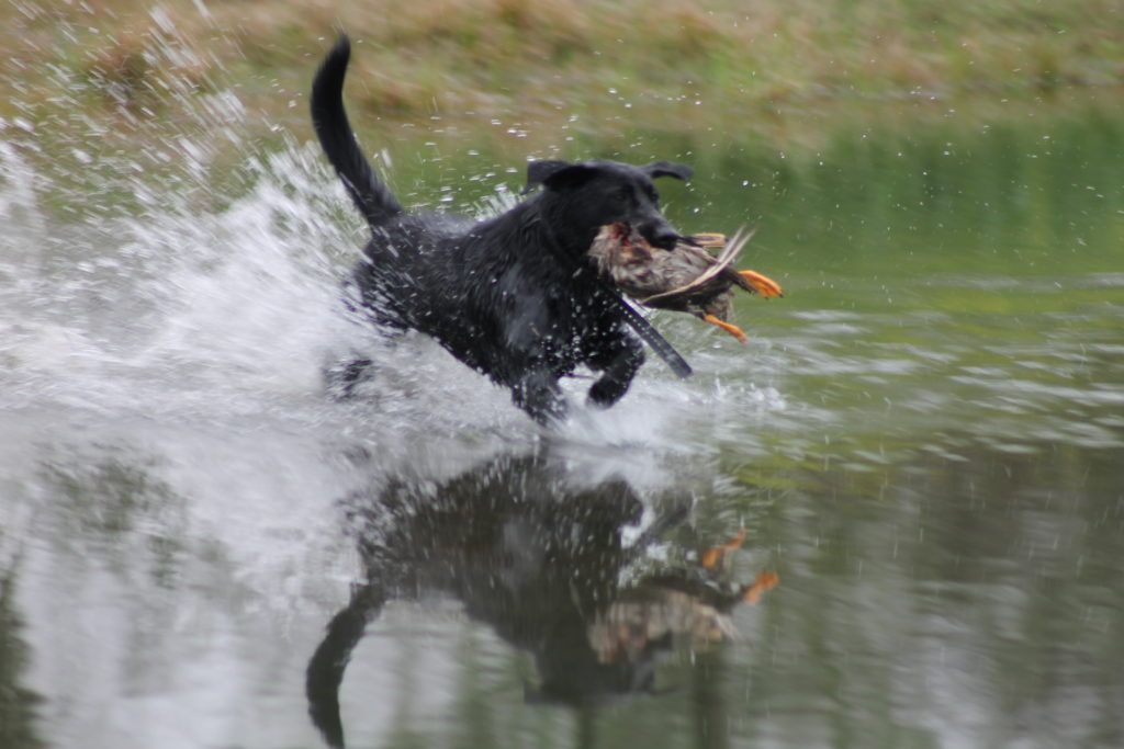 black dog big splash