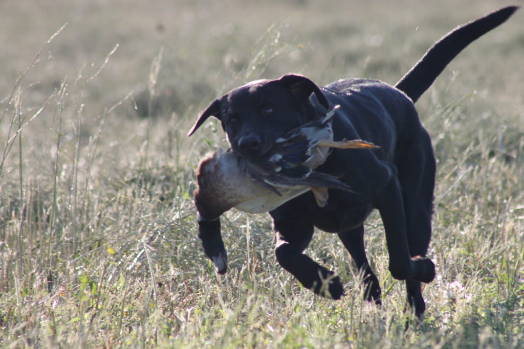 black dog running w duck