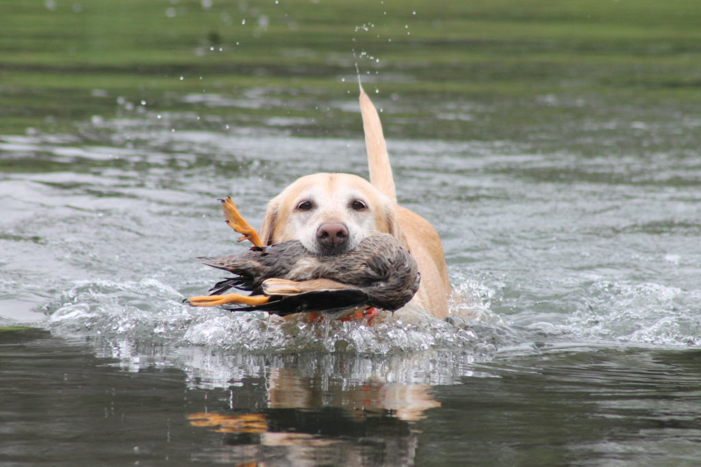 blonde dog water w duck
