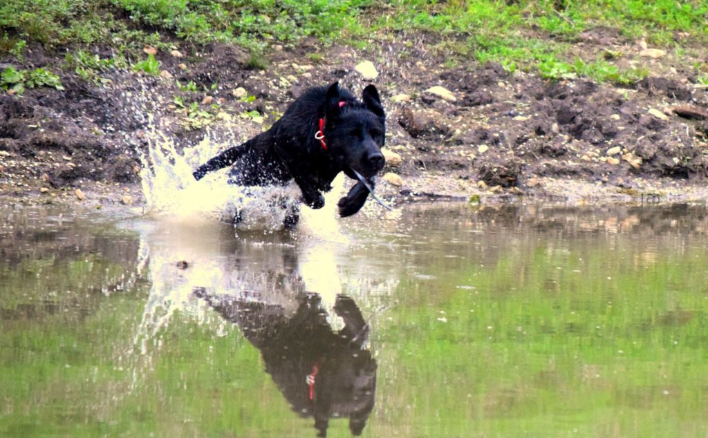 cropped-black-dog-front-water-entry.jpg